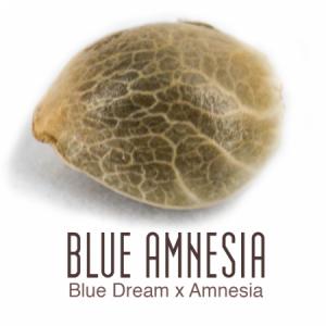 Blue Amnesia auto flower zaadje