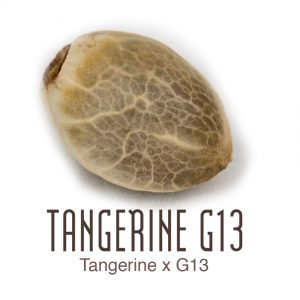 Tangerine G13 wietzaad