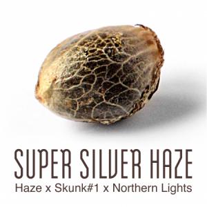 Super Silver Haze wietzaad