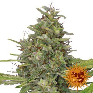 G13 Haze wietplant