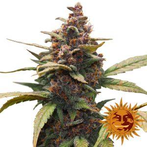 Ayahuasca Purple wietplant