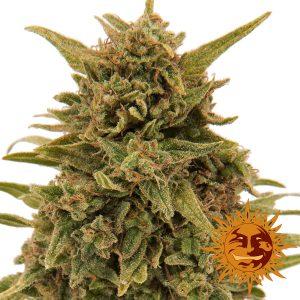 Blueberry OG wietplant