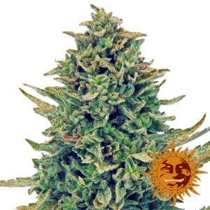 CBD Blue Shark wietplant