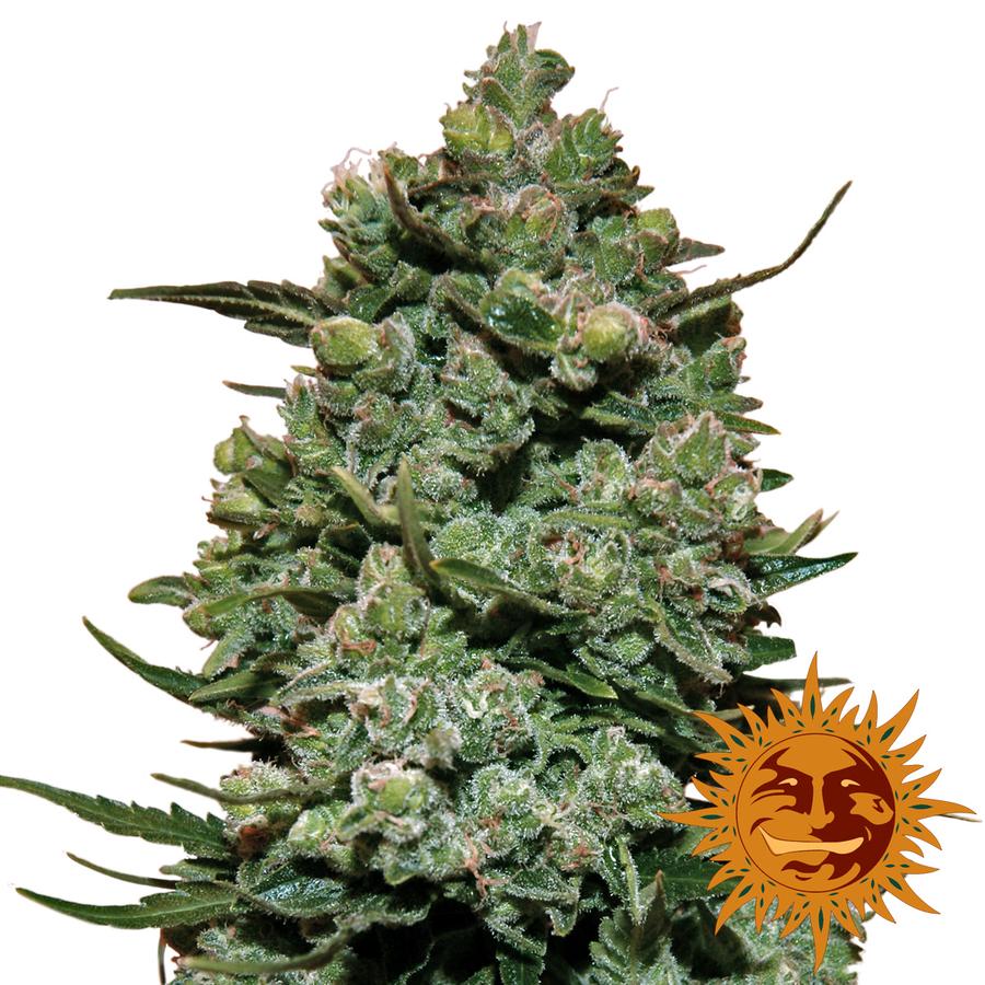 Cookie Kush wietplant