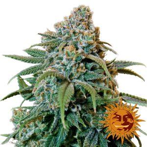 Liberty Haze wietplant