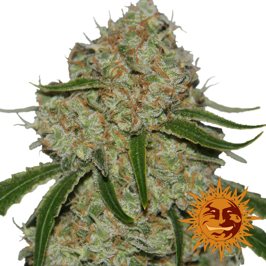 Phantom OG wietplant