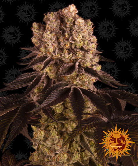 purple-punch_circle_new_12_511378
